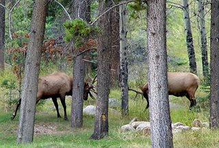 elk bulls, Jasper National Park, Alberta, Canada, photo by Robin Atkins
