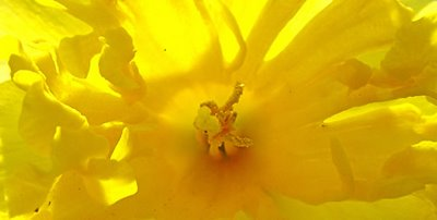 daffodil, photograph by Robin Atkins