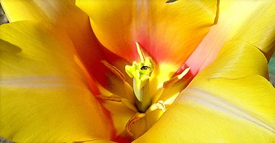 tulip, photograph by Robin Atkins
