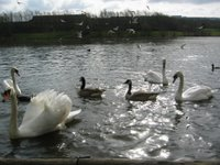 a picture of some swans and ducks on Fendrod Lake
