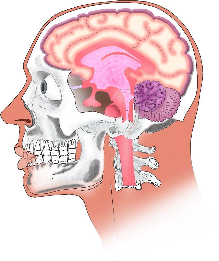 anatomia del encefalo: anatomia y fisiologia del encefalo