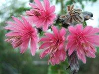 Barnadesia caryophylla