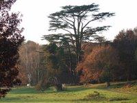 Largest Cedar in Europe