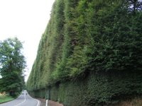 The world's tallest hedge