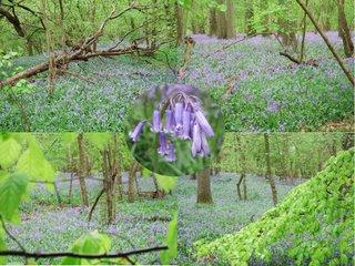 Harewood Forest bluebells