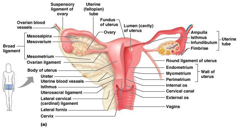 Uterus picture anatomy