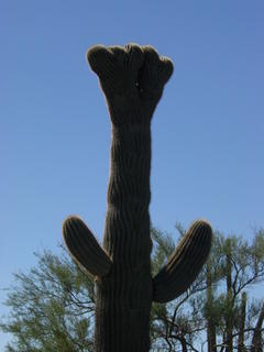 an injured saguaro cactus