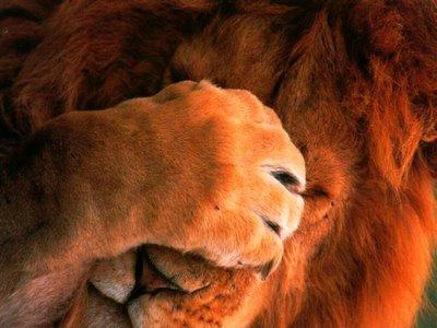 No contaban con los ojos del león