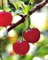Unpicked Cherries