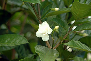 A gardenia is not a cactus.