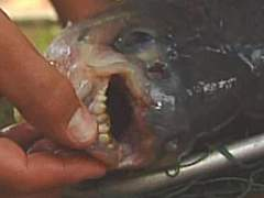 Strange fish with nasty teeth caught near Lubbock, Texas