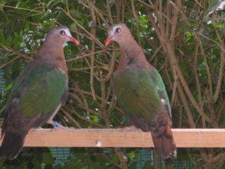 Tropische duiven te koop