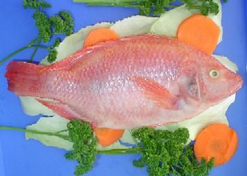 Historia de tilapia en el huila propez02 39 s blog for Mojarra tilapia criadero