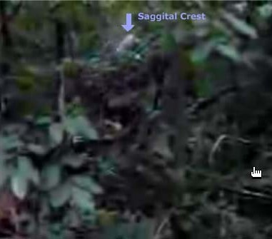 a look at the hairy man like creature bigfoot Bigfoot seekers 3,145 a few old newspaper articles about man like creaturesproof people saw bigfoot before weird hairy creatures scratching at the.