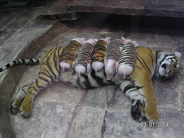 Cat fucks tiger galleries 927