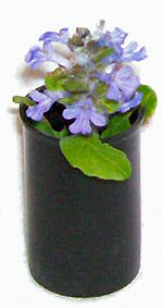 Bugleweed or ajuga