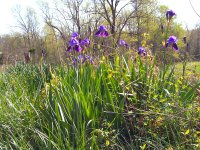 Iris blooming at an old homesite in Christian County, Kentucky