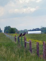 Turkey buzzards, Christian County, Kentucky