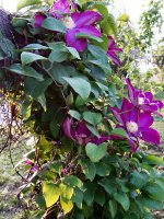 Clematis vine