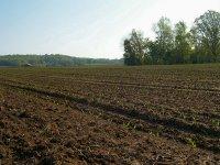 Field of Newborn Corn