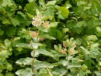 Milkweed blossoms