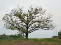 Old oak east of Hopkinsville, Kentucky