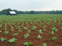 Field of tobacco