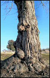 Old tree at Riverview Cemetery, Hopkinsville, KY