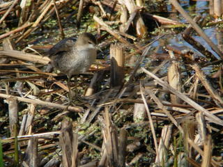 Little Crake at Slimbridge