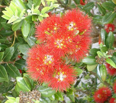 Christmas in New Zealand - the Pohutukawa tree