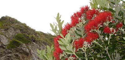New Zealand's native Christmas tree - the Pohutukawa