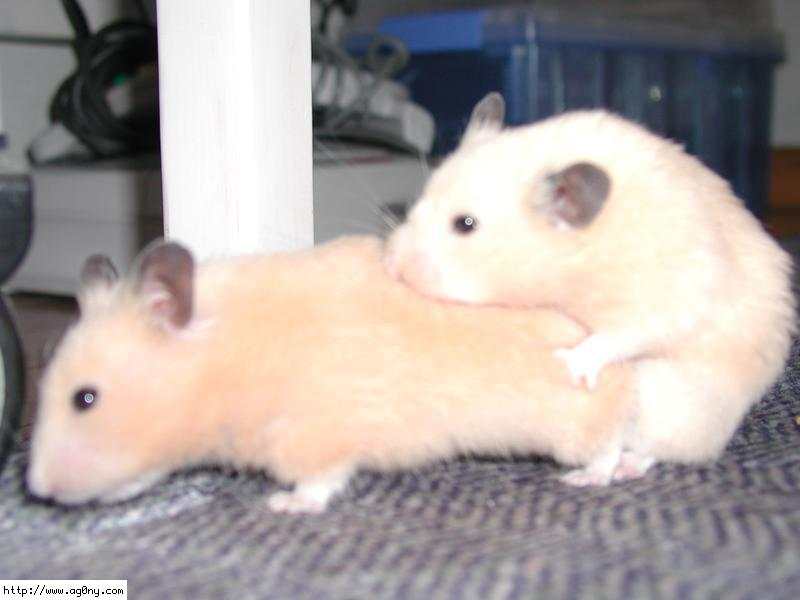 For The General Enjoyment Of My Many Readers Here Is Some Sexy Hamster Porn Check Out The Nose On The Man Hamster Hes Kind Of Snarling