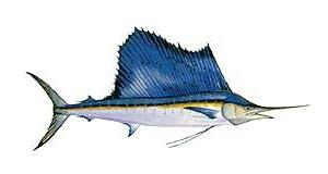 cosmopolitan sailfish