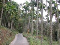 路旁到處都是檳榔樹