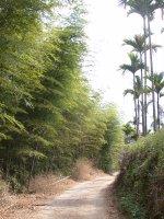 產業道路旁的竹林及檳榔樹
