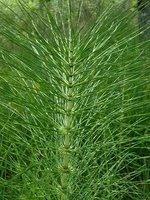 División Sphenophyta, equisetum