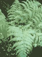 Pterophyta, helechos verdaderos