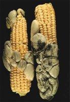 Basidiomicetes parasitado al maíz