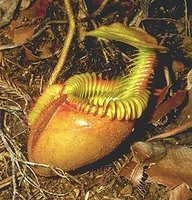 Adaptaciones de las plantas carnivoras para la nutrición