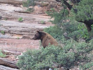Photo of a black bear in Zion National Park