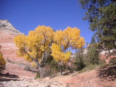 Photo of Fall Cottonwoods in Zion National Park