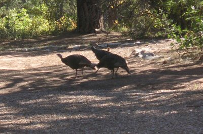 Photo of Wild Turkeys in Zion National Park