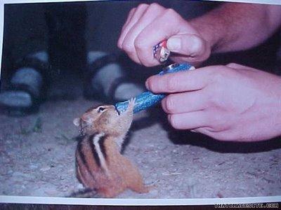 smoking chipmunk