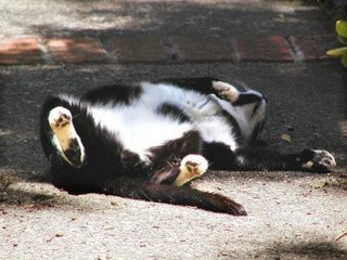 Rocky the Gutter Cat on his back