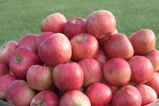 Honeycrisp apples (Photo: University of Minnesota)