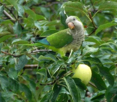 A monk parakeet eyeing the photographer before digging into an apple from our next-door neighbor's tree.