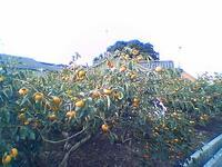 persimmmon trees