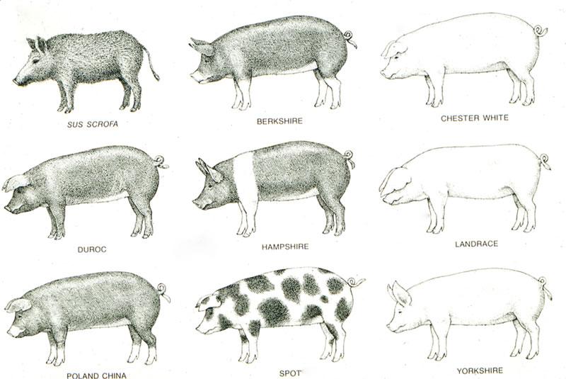 Medicated Nightmares: Anatomía de un Cerdo (aka Informe sobre Cerdos)