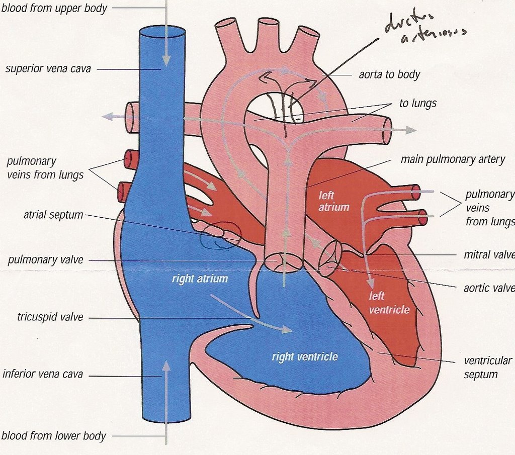 Full heart diagram new wiring diagram 2018 baby leino october 2006 cardiac diagram the places of the heart diagram full skeletal system diagram on full heart diagram pooptronica