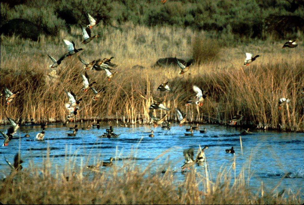 Idaho nature notes waterfowl hunting season underway at for Silver creek idaho fishing